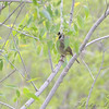 Common Yellowthroat <br /> South of Steel at the Long Lake NWR <br /> North Dakota