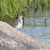 Spotted Sandpiper <br /> South of Steel at the Long Lake NWR <br /> North Dakota