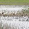 Ruddy Ducks <br /> South of Steel at the Long Lake NWR <br /> North Dakota