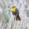 Yellow-headed Blackbird <br /> South of Steel at the Long Lake NWR <br /> North Dakota