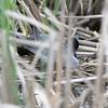 Black Terns <br /> South of Steel at the Long Lake NWR <br /> North Dakota