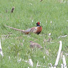 Ring-necked Pheasant <br /> male and female <br /> South of Steel at the Long Lake NWR <br /> North Dakota