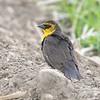 Yellow-headed Blackbird <br /> South of Steel at the Long Lake NWR <br /> North Dakota