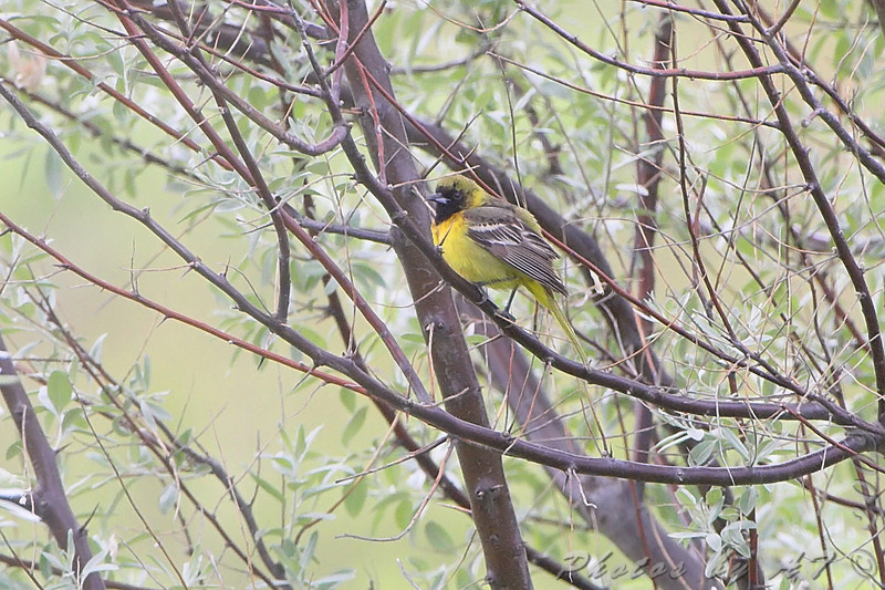 Orchard Oriole <br /> South of Steel at the Long Lake NWR <br /> North Dakota
