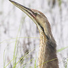 American Bittern <br /> South of Steel at the Long Lake NWR <br /> North Dakota