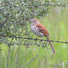 Brown Thrasher <br /> South of Steel at the Long Lake NWR <br /> North Dakota