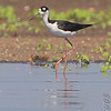 Black-necked Stilt <br /> Ellis Bay <br /> Riverlands Migratory Bird Sanctuary