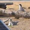 Least Terns <br /> Ellis Bay <br /> Riverlands Migratory Bird Sanctuary