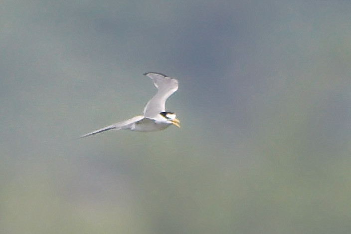 Least Tern <br /> Ellis Bay <br /> Riverlands Migratory Bird Sanctuary <br /> <br /> No. 255 on my Lifetime List of Bird Species <br /> Photographed in Missouri