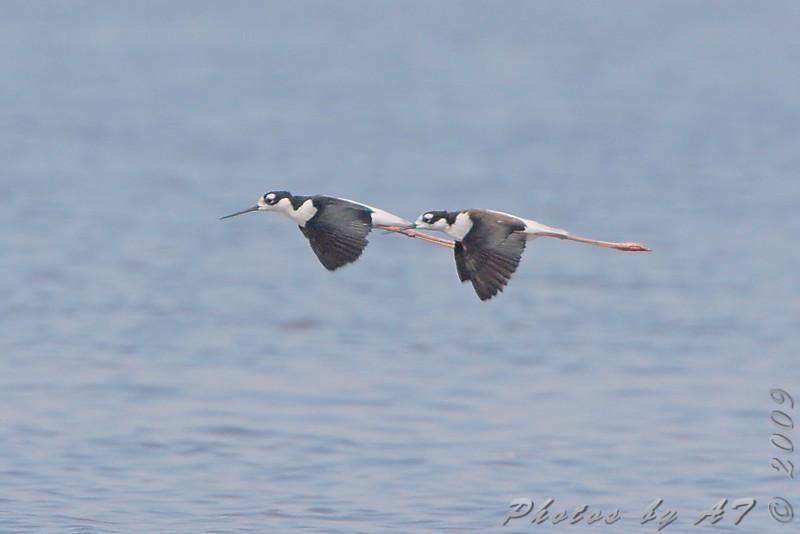 Black-necked Stilt <br /> Ellis Bay <br /> Riverlands Migratory Bird Sanctuary