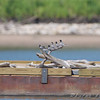 Black Terns resting on the barge <br /> Ellis Bay <br /> Riverlands Migratory Bird Sanctuary