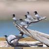 Black Terns <br /> Experimental Least Tern Nesting Barge  <br /> Ellis Bay <br /> Riverlands Migratory Bird Sanctuary