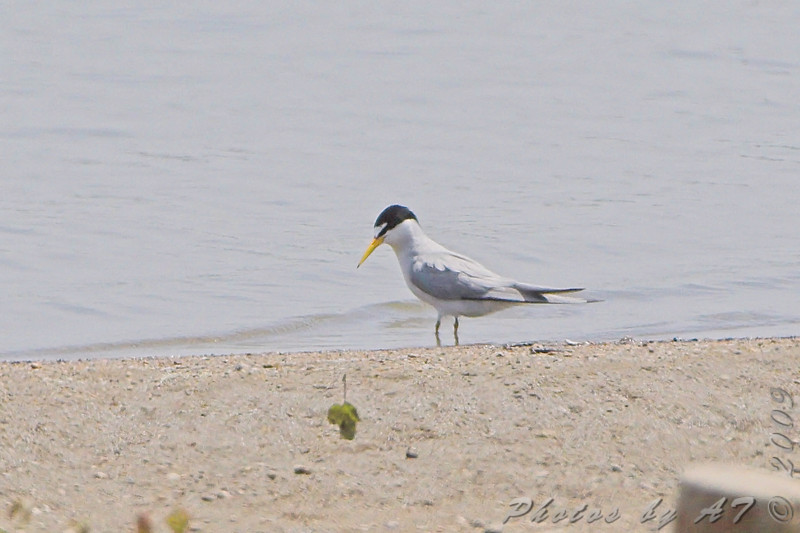 Least Tern <br /> Ellis Bay <br /> Riverlands Migratory Bird Sanctuary