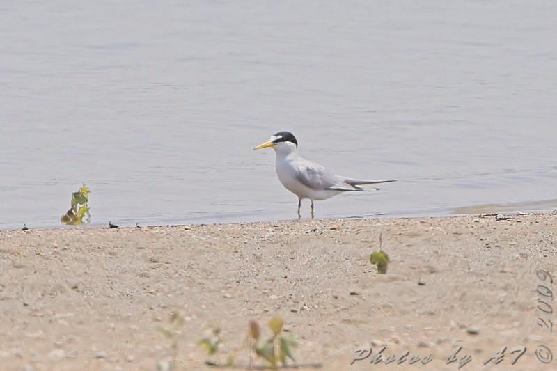Least Tern <br /> Ellis Bay <br /> Riverlands Migratory Bird Sanctuary