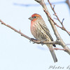 House Finch <br /> August A Busch Memorial Conservation Area
