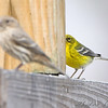 Pine Warbler <br /> feeders behind Lodge <br /> August A Busch Memorial Conservation Area