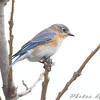 Eastern Bluebird  <br /> behind Lodge <br /> August A Busch Memorial Conservation Area