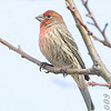 """House Finch <br> August A Busch Memorial Conservation Area <br> 2009-03-05 13:46:45 <br> <font color = blue> See all this day's </font> <a  href=""""/gallery/7524591_4VpP7#485972563_WAZMy""""> <font color = blue>Photos Here</font></a>"""