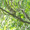 Tennessee Warbler <br /> Columbia Bottom CA