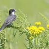 Eastern Kingbird <br /> Columbia Bottom CA