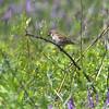 Eurasian Tree Sparrow <br /> Columbia Bottom CA