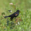 Red-winged Blackbird <br /> Columbia Bottom CA