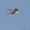 Scissor-tailed Flycatcher female <br /> Henke Road <br /> St. Charles County