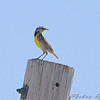 Eastern Meadowlark <br /> Henke Road <br /> St. Charles County