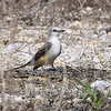 Scissor-tailed Flycatcher female <br /> Just behind barricade <br /> Henke Road <br /> St. Charles County