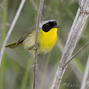 Common Yellowthroat <br /> behind Hampton Lake <br /> Busch Wildlife Conservation Area