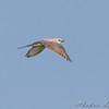 Scissor-tailed Flycatcher <br /> Henke Road <br /> St. Charles County