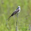 Scissor-tailed Flycatcher <br /> Henke Road <br /> St. Charles County