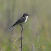Eastern Kingbird <br /> Henke Road <br /> St. Charles County
