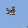 Red-tailed Hawk <br /> Henke Road <br /> St. Charles County