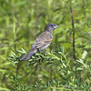 Blue Grosbeak <br /> Henke Rd <br /> St. Charles County