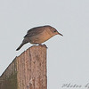 House Wren <br /> behind Hampton Lake <br /> Busch Wildlife Conservation Area
