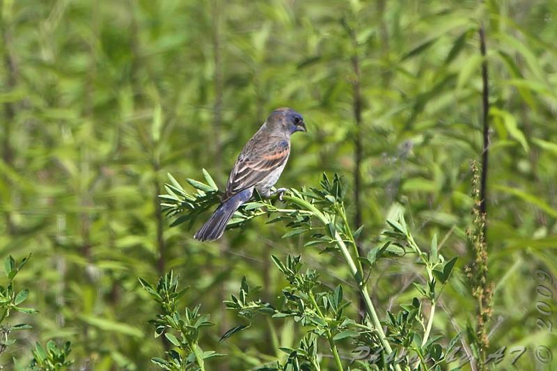 Blue Grosbeak <br /> Henke Rd <br /> St. Charles County  <br /> <br /> No. 249 on my Lifetime List of Bird Species <br /> Photographed in Missouri