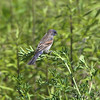 Blue Grosbeak <br /> Henke Rd <br /> St. Charles County  <br /> <br /> No. 249 on my Lifetime List of Bird Species <br /> Photographed in Missouri