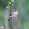 Field Sparrow <br /> behind Hampton Lake <br /> Busch Wildlife Conservation Area
