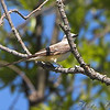 Scissor-tailed Flycatcher female <br /> Henke Road <br /> St. Charles County