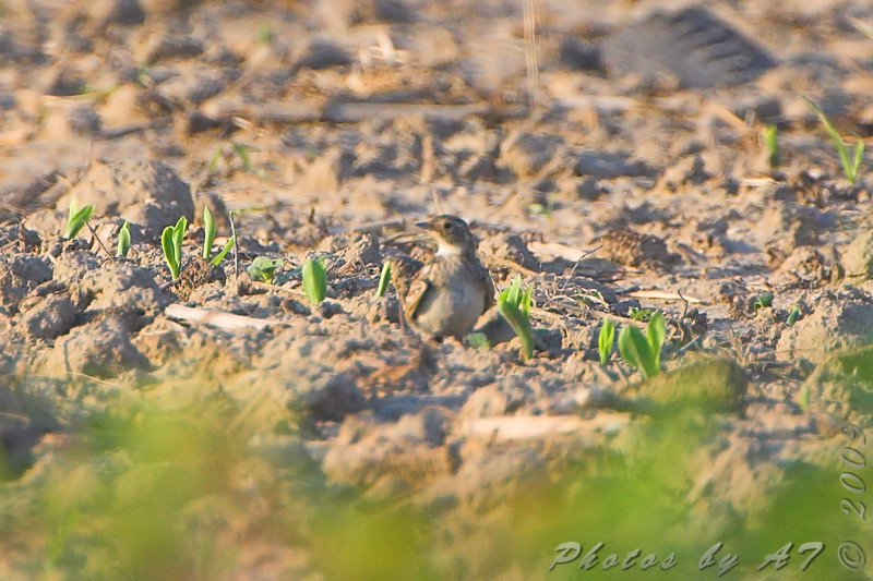 unknown - Horned Lark?<br /> Columbia Bottom Conservation Area