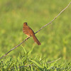 Brown Thrasher <br /> Columbia Bottom Conservation Area