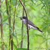 Eastern Kingbird does the flip <br /> Columbia Bottom Conservation Area