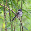 Eastern Kingbird <br /> Columbia Bottom Conservation Area