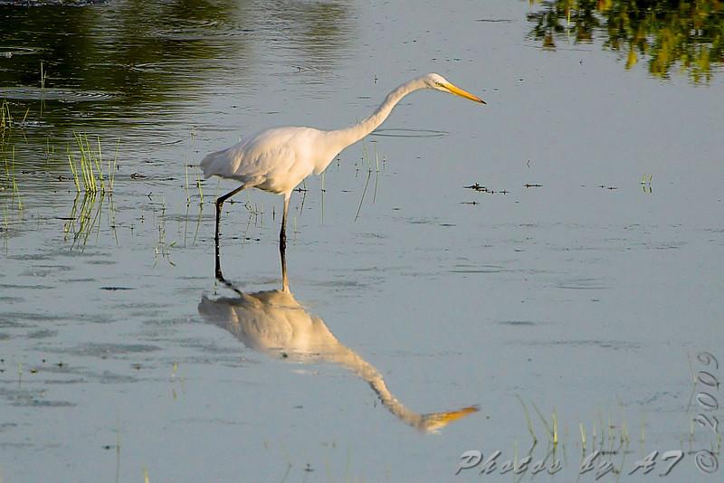 Great Egret <br /> Simpson Lake marsh in Valley Park