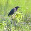 Green Heron <br /> Simpson Lake marsh in Valley Park