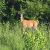 Whitetail Deer  <br /> Simpson Lake marsh in Valley Park