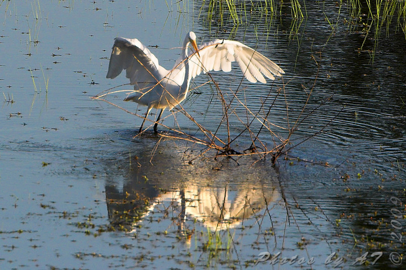 Great Egret <br /> Picking up stick to use as fishing probe <br /> Simpson Lake marsh in Valley Park