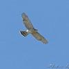 Cooper's Hawk <br /> Simpson Lake marsh in Valley Park