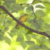 Scarlet Tanager female <br /> Castlewood Start Park